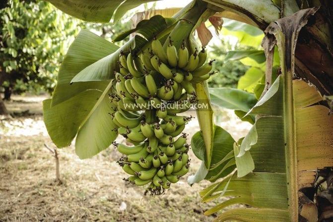 racimo de plátanos a punto de madurar